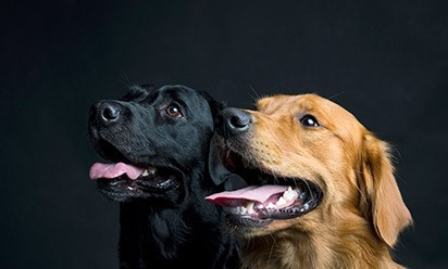 Headshots of a black dog and a golden dog.